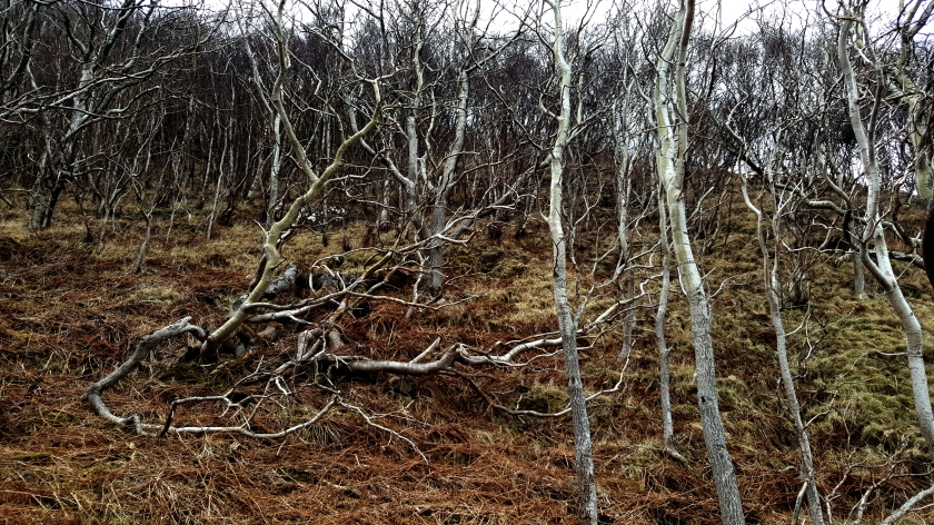 Forest of white barked thin trees on dry grass