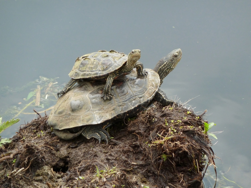 A small turtle perches on the back of a larger turtle