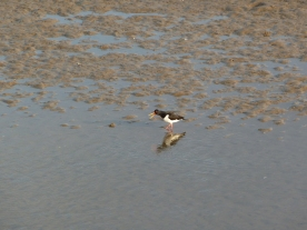 A small open beaked bird on a muddy beach