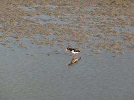 A small open beaked bird on a muddy beach