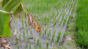 A square of rice paddy with bright green rice sprouting in rows.