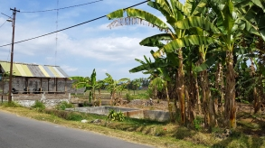 A hut beside concrete footings and stand of banana trees alongside the paved road