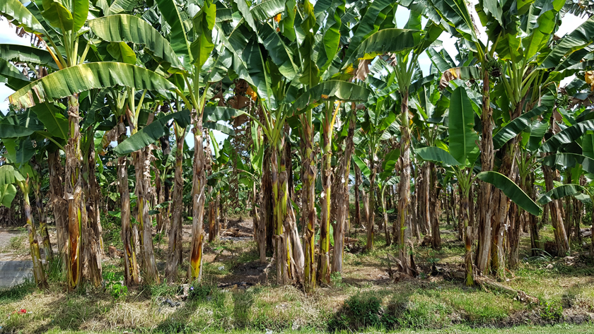 Banana trees with large green fronds and woody bark
